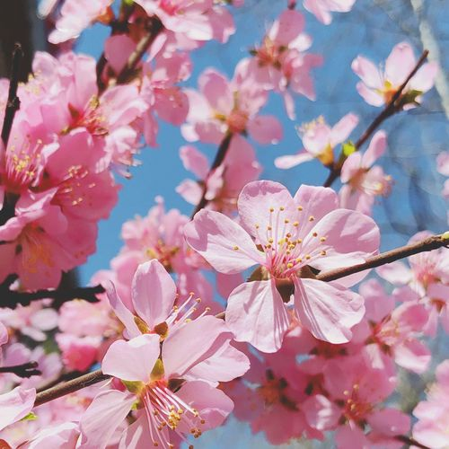IPhone 7 Plus 男仔很忙 Flower Flowering Plant Plant Beauty In Nature Fragility Freshness Vulnerability  Pink Color Growth Springtime Petal Blossom Tree Inflorescence Flower Head Cherry Blossom Pollen Close-up Branch Nature