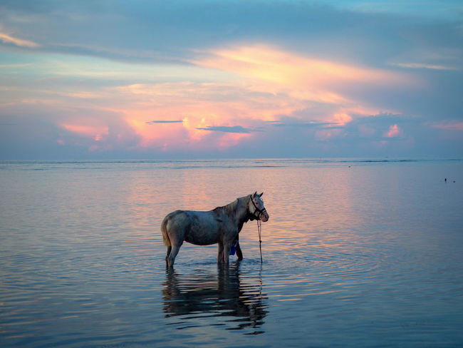 Animal Bathing Bali Cloud Domestic Animals EyeEm Best Shots EyeEm Nature Lover Gili Air Gili Islands Horse Horse Bathing Horse In Water Kitsch Mammal Nature No People Perfect Pets Pink Sky Rippled Romantic TakeoverContrast Sky Sunset Tranquil Scene Water
