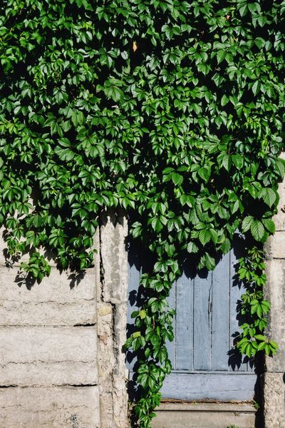 Hide and Seek Entrance Garden Design Green Plant On The Wall Textures And Surfaces Door Wall Garden Decoration Growth Green Color Plant Door Outdoors Ivy Leaf Nature Wood - Material Architecture