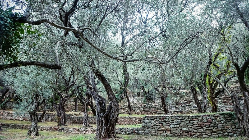 Olive trees Olive Trees Green Nature Mediterranean Landscape #OliveGarden #mediterranean #trees #green #landscape #nature #photography Beauty In Nature Outdoors Tranquility