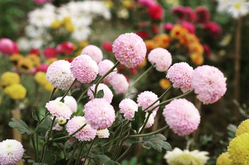 Flower Growth Fragility Pink Color Freshness Plant Beauty In Nature Nature Focus On Foreground No People Flower Head Springtime Blooming Lantana Camara Close-up