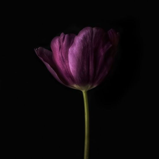 Beauty In Nature Black Background Close-up Copy Space Flower Flower Head Flowering Plant Fragility Freshness Growth Inflorescence Nature No People Petal Pink Color Plant Purple Studio Shot Tulip Vulnerability