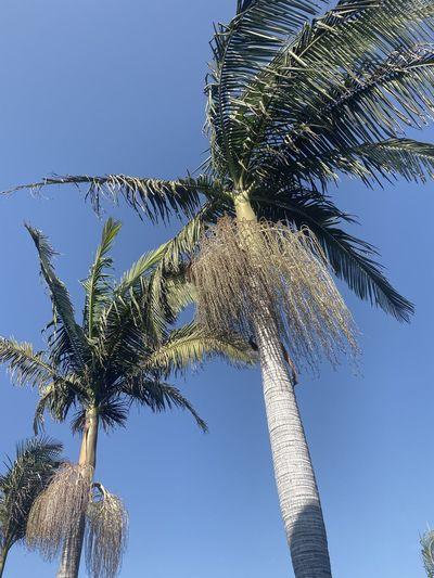 Nice sk Palm