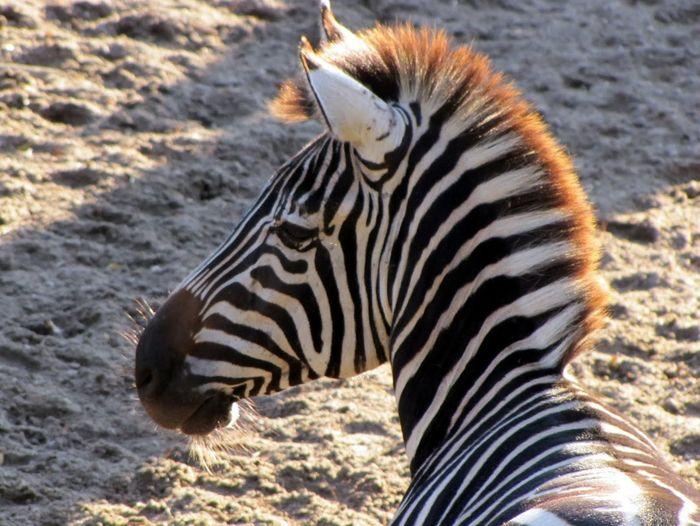 High angle view of zebra