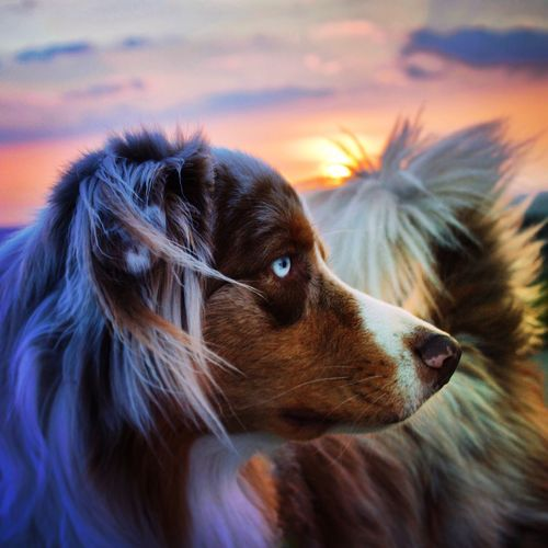 Close-up of dog during sunset