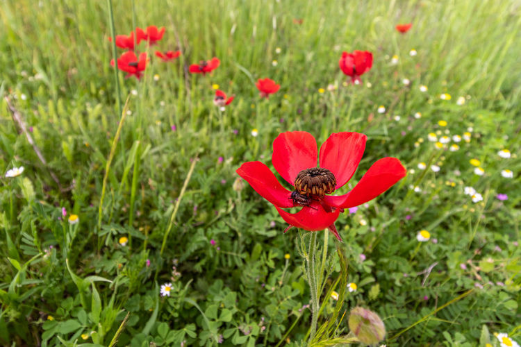 Close-up of red poppies in field