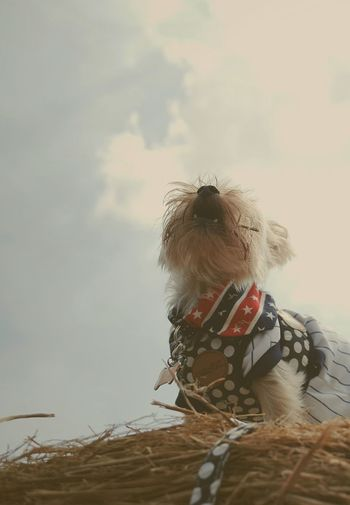 Yorkshire Terrier Ocha Sky Pets Proud Blue And Red Scarf Pride いぬ