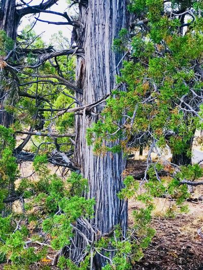 Grand Canyon National Park Plant Growth Day Green Color Tree Trunk Outdoors Sunlight Textured  Beauty In Nature Tranquility