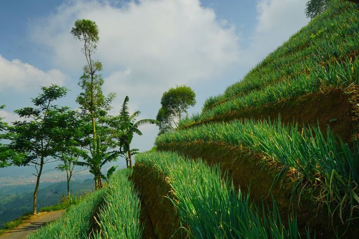 Terraced Leek orchard in Panyaweuyan, Majalengka . Tree Nature Green Color Cloud - Sky Sky Outdoors Plant Beauty In Nature Freshness Indonesia Scenery Agricultural Land Agriculture Farm Agricultural Landscape Terraced Farming Terraced Field Majalengka