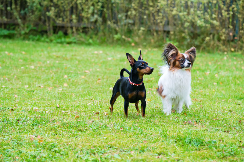 Outdoor portrait of a miniature pinscher and papillon purebreed dogs on the grass Mini Pincher Animal Animal Themes Canine Day Dog Domestic Domestic Animals Field Grass Green Color Group Of Animals Land Mammal Nature No People Outdoors Papillon Papillon Dog Pets Pintscher Plant Small Two Animals