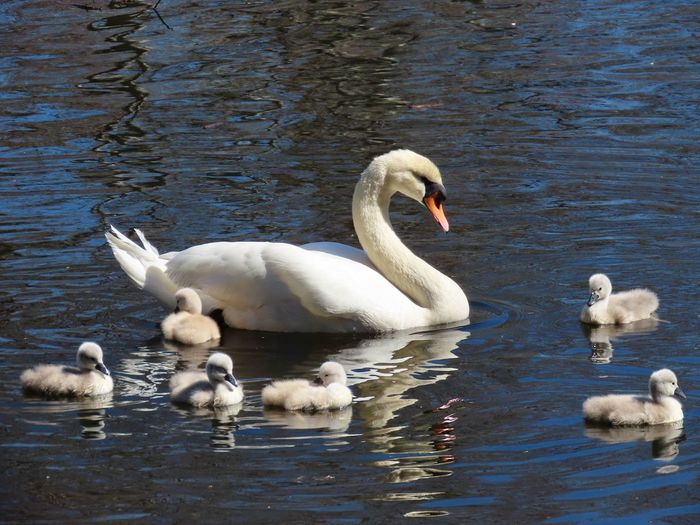 EyeEm selects swan family out for a swim water reflections ripples outdoors birds of EyeEm beauty in nature tranquil scene Bird Animal Themes Group Of Animals Water Swan