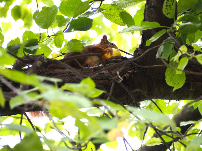 Squirrel Animal Themes Animals In The Wild Branch Close-up Day Green Color Growth Leaf Low Angle View Mammal Nature No People One Animal Outdoors Plant Tree