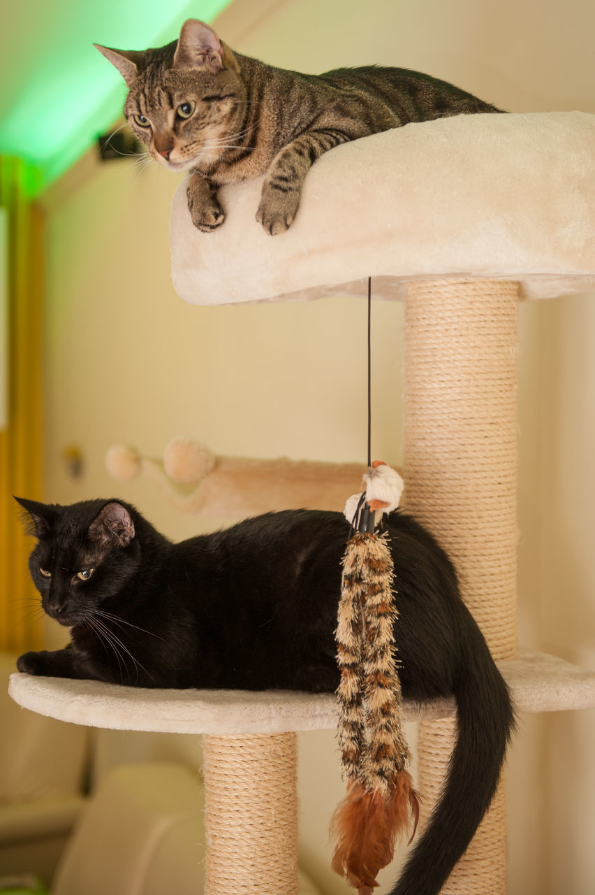 domestic cat, pets, domestic animals, animal themes, one animal, mammal, feline, cat, looking at camera, portrait, sitting, tabby cat, indoors, whisker, carnivora, siamese cat, no people, relaxation, ginger cat, kitten, day