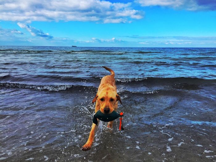 Dummy work at the ocean Labrador Life Saver Working Dog Dummy Water Sea Sky Horizon Over Water Beach Horizon Pets This Is Strength
