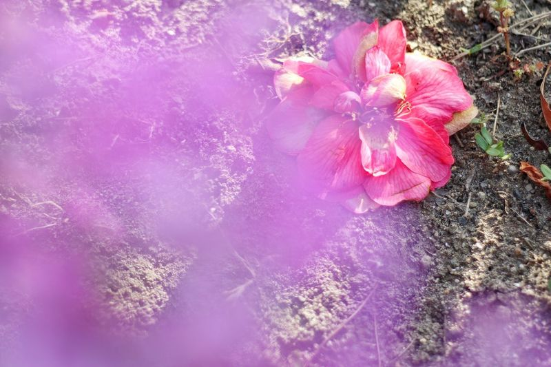 Fallen flowers/落花 Flower Fragility Petal Pink Color Flower Head Nature Beauty In Nature No People Pink Growth Water Outdoors Day Blooming Plant Close-up Freshness Canon EOS M5 in Niigata Jaopan