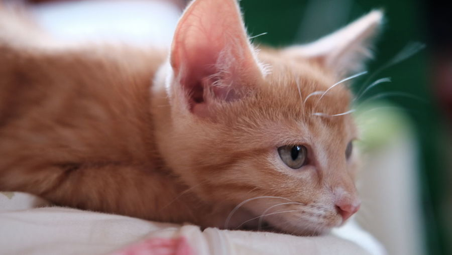 Close-Up Of Young Ginger Cat On Bed