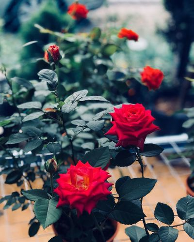Flower Flowering Plant Plant Beauty In Nature Vulnerability  Fragility EyeEmNewHere Red Growth Close-up Petal Flower Head Botany Rosé Nature