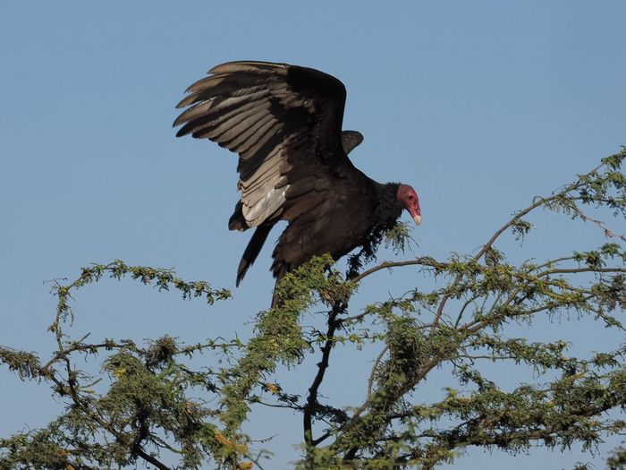 Turkey vulture on an Algarrobo tree spreading its wings Turkey Vulture Cathartes Aura Spread Wings Animal Themes Animals In The Wild Bird Photography Bird Watching Low Angle View Birds Of Prey Bird On A Tree Algarrobo Nature Photography MORO Ancash Nepeña Valley Peru Bird Animal Wildlife Nature