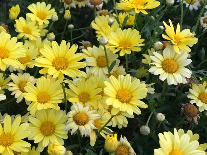 Eye4photography  EyeEm Selects EyeEm Nature Lover EyeEmNewHere Flowering Plant Flower Freshness Yellow Vulnerability  Fragility Plant Flower Head Inflorescence Beauty In Nature Petal Growth Close-up High Angle View Daisy Outdoors