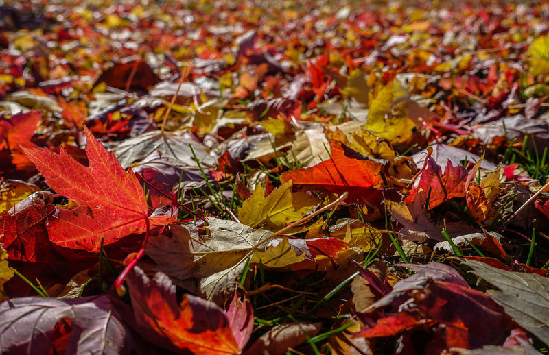 Close-Up Of Maple Leaves Fallen In Autumn