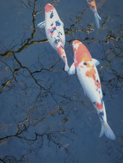 Pond Koi Colors Colorful Beautiful World Water Reflections Beautiful Beautiful Colors Japanese Colors Koi Fish Japan Photography Japan Scenery