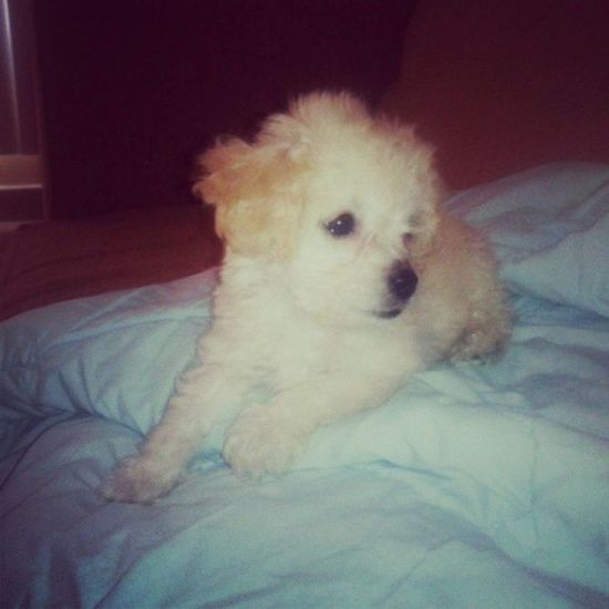 Beautiful  ñike Poodle Poodlemicrotoy dog dogs tita Family baby goodnaigt
