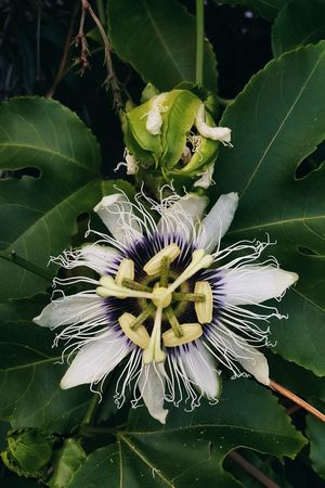 Nature Flower Leaf Beauty In Nature Close-up Plant Flower Head Passionfruitflowers Passion Flower Passionfruit Tropical Plants TropicalFruit Tropicalflowers EyeEmNewHere