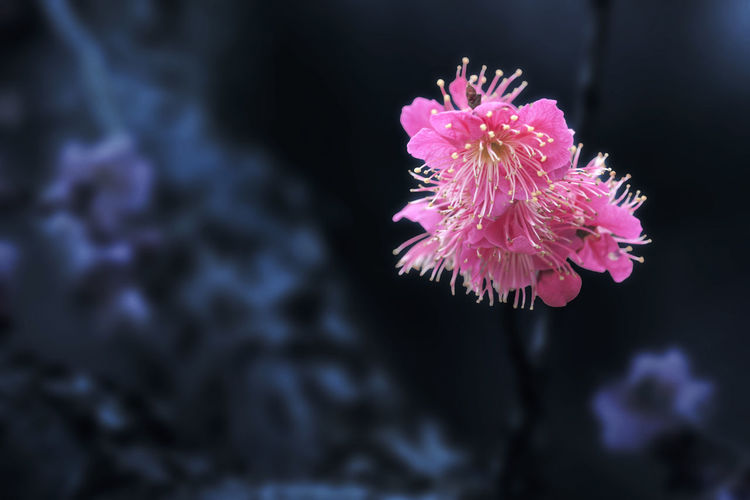 Plum Blossom Vulnerability  Pink Color Flower Fragility Flowering Plant Beauty In Nature Close-up Freshness Plant Nature Petal Inflorescence Flower Head No People Focus On Foreground Growth Outdoors Underwater Selective Focus Pollen Purple Plum Blossom