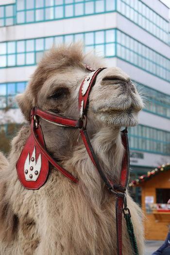 Close-up of a camel
