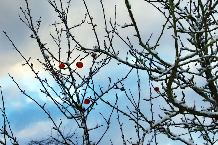 Tree Branch Fruit Healthy Eating Low Angle View Hanging Focus On Foreground Winter Sky Bare Tree Red Nature Apple Apple Tree Snow Wintertime Winter Trees Nature_collection Nature Photography Naturelovers Beautiful Nature Lovely Natural Beauty EyeEm Nature Lover EyeEm Gallery