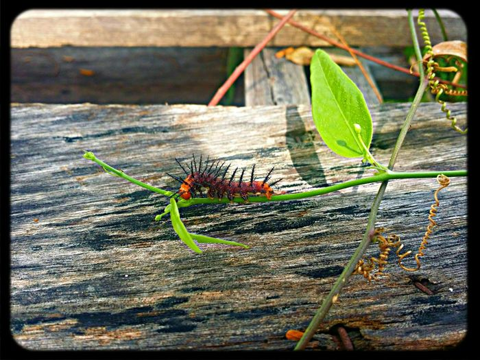 Nature Caterpillar Mobilephotography Leaf Insects  Eyem Best Shots Eyembestseller Streetphotography