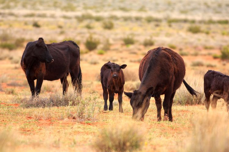 Ranch cows & calves Livestock Southern Utah  Utah Animal Animal Themes Ranch Farm Animal Group Of Animals Calf Cow Herd Cattle Grazing