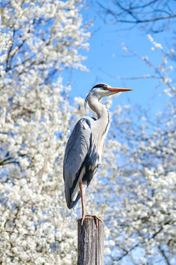 Low angle view of gray heron perching on branch