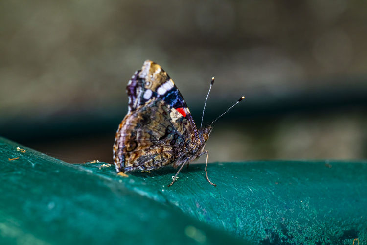 Close-up of colorfull butterfly