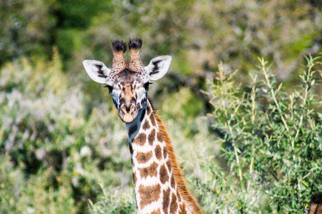 Animal Themes Animals In Captivity Giraffe Lion Masai Mara Masai Tribe Monitor Lizard Wildebeest Wildebeest Migration Zebra