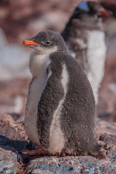 Iceberg Ziwang Ice Ziseetheworld Antarctic Peninsula Antarctica Gentoo  Gentoo Penguin Penguin Gentoo Penguin Chick Snowcapped Mountain Penguin Chick