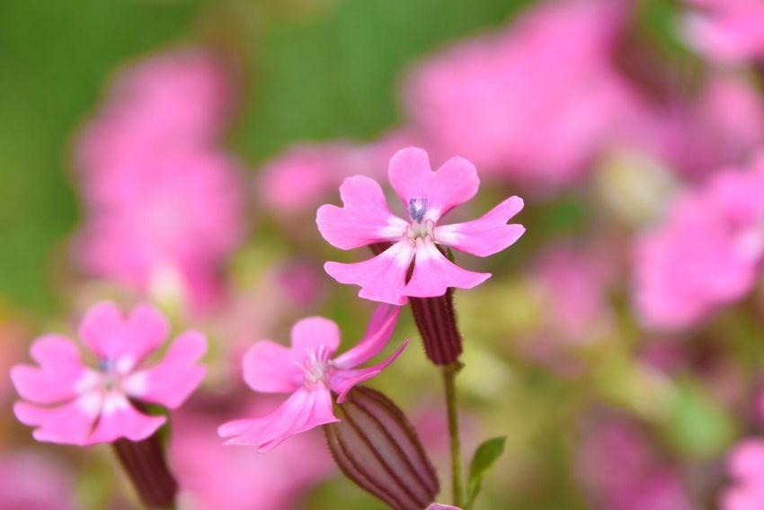 Cute Flowers Pink Flower Flowerporn Pink Flower Flower Collection Flower Head Naturelovers Nature Nature_collection Nature Photography Silene Pendula サクラマンテマ Heart ♡ お散歩Photo 花びらがハートで可愛い*・゜゚・*:.。..。.:*・'(*゚▽゚*)'・*:.。. .。.:*・゜゚・*