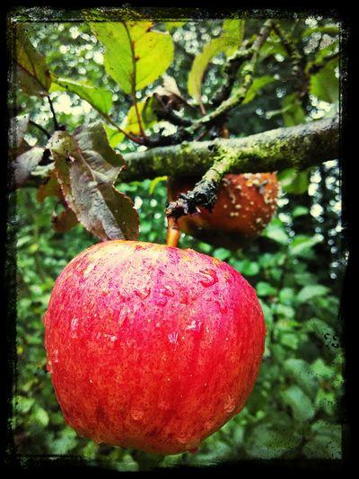 Jablko Apple
