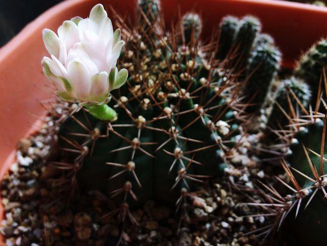 Castus Plant Cactus Succulent Plant Close-up Growth Beauty In Nature Inner Power Flowering Plant Flower Nature