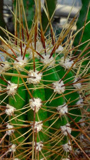Cactus Defence