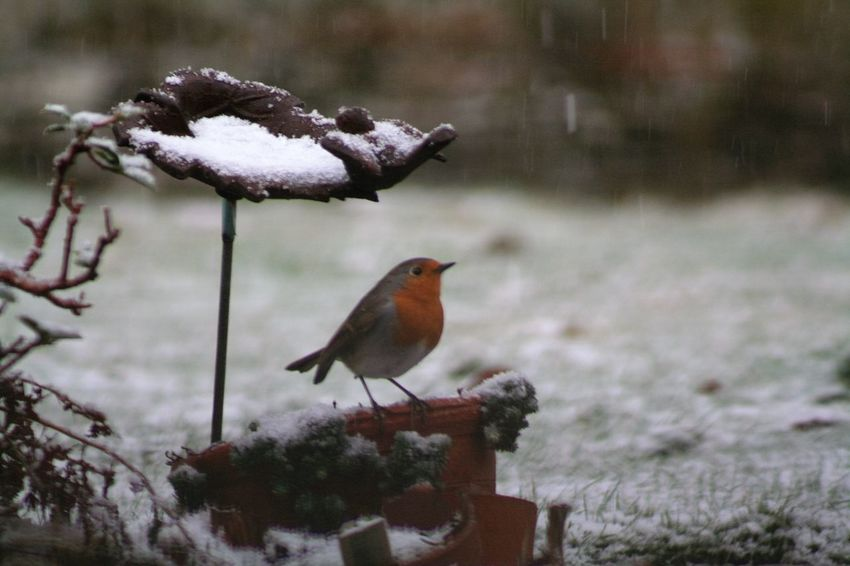 Bird Winter Snow Perching Animals In The Wild Animal Themes Cold Temperature Weather One Animal Nature Focus On Foreground Animal Wildlife No People Outdoors Robin Day Close-up Beauty In Nature