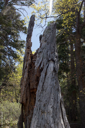 Beauty In Nature Day Growth Leopard Low Angle View Nature No People Outdoors Sky Tree Tree Trunk