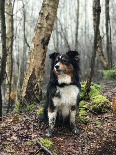 Amy im Moor Swamp Moor  Dog Australianshepherd Miniaussie Tree Plant Animal Animal Themes One Animal Land Tree Trunk Mammal Trunk Nature Forest Animals In The Wild Vertebrate Day No People Looking Sitting Outdoors Focus On Foreground