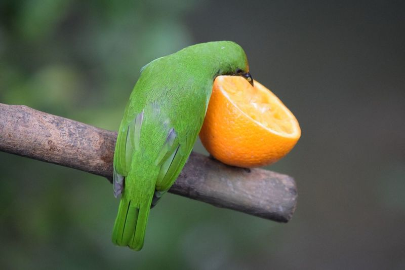 Tropical bird eating an orange Fruit Focus On Foreground Close-up Citrus Fruit Green Color Freshness Food And Drink Nature No People Outdoors First Eyeem Photo