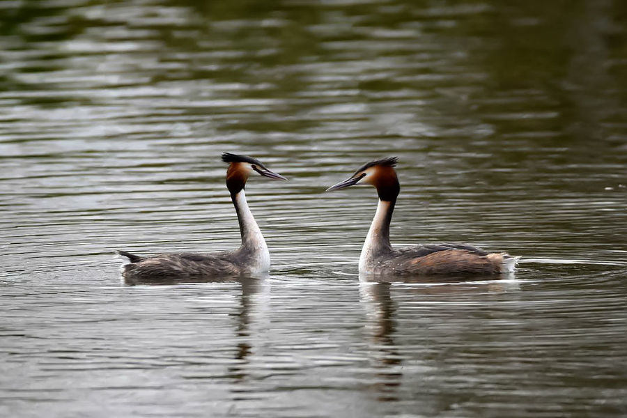 great crested grebes Animals In The Wild Bird Nature Water Waterfront Lake Animal Themes Animal Wildlife Swimming Outdoors Beauty In Nature Day No People Birdphotography Ornithology  Waterbird Ornithology  NikonD5500 Sigma150-600c