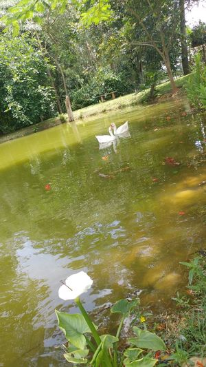 Ganso. Water Nature Green Color Floating On Water Animal Themes Tranquil Scene Beauty In Nature Tranquility