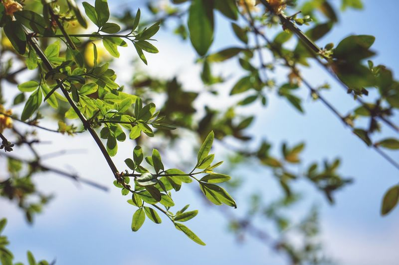 Tree Branch Nature Green Color Sky No People Low Angle View Leaf Outdoors Day Close-up Food Beauty In Nature Freshness
