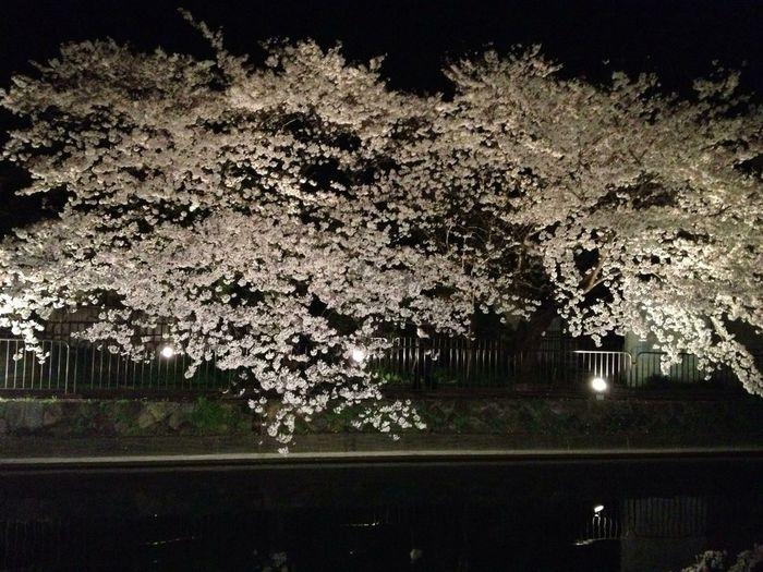 桜 サクラ 疏水 #桜 #さくら #サクラ #CherryBlossoms #夜景 #Night View #ライトアップ #light Up #電飾 #Electric Spectaculars