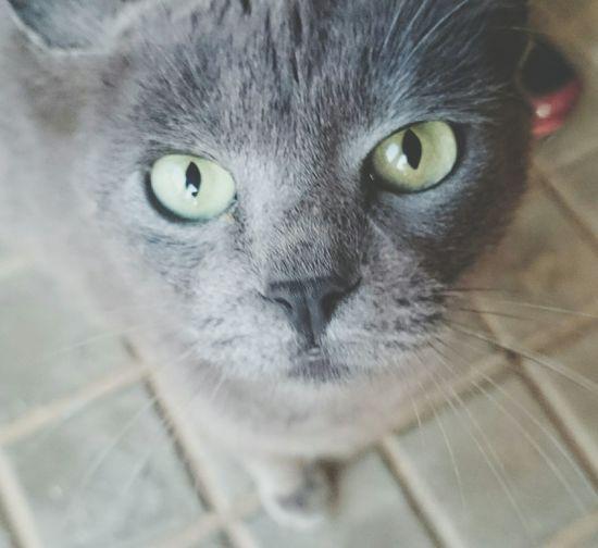 Green Eyes Cat Gato