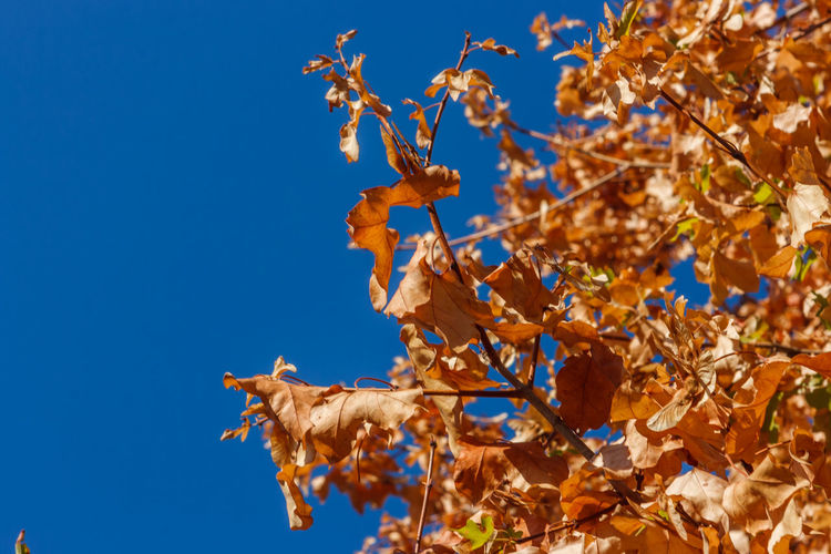 Low angle view of maple leaves on tree against sky